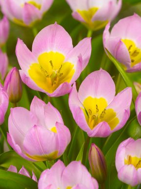 Bakeri lilac wonder