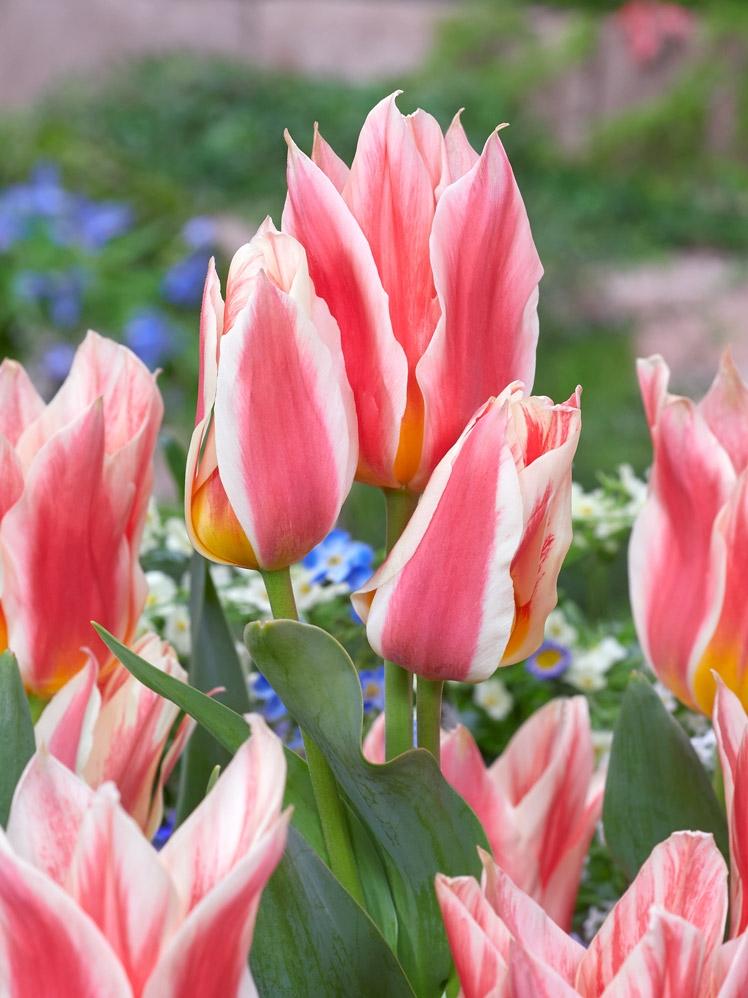 Tulipa Quebec