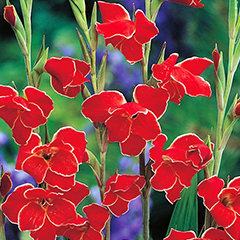 Gladiolus Atom