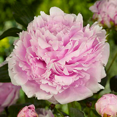 Paeonia Sarah Bernhardt