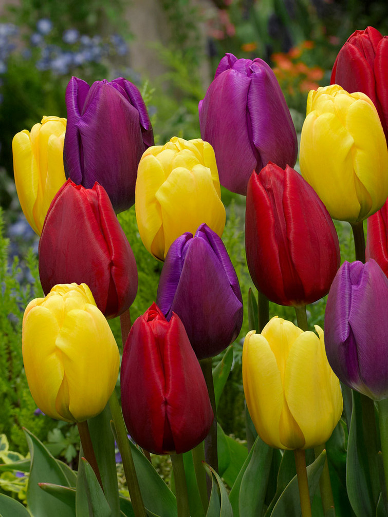 Triumph Tulpen mix