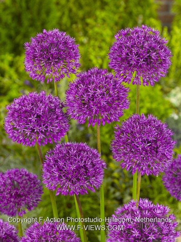 Zierlauch Purple Sensation