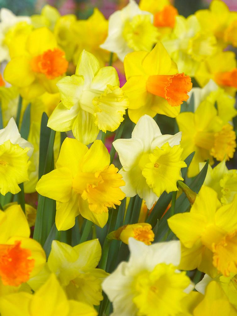 Narcissus melange