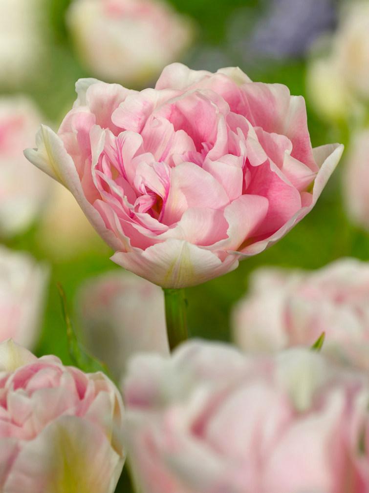 Tulipes Angelique