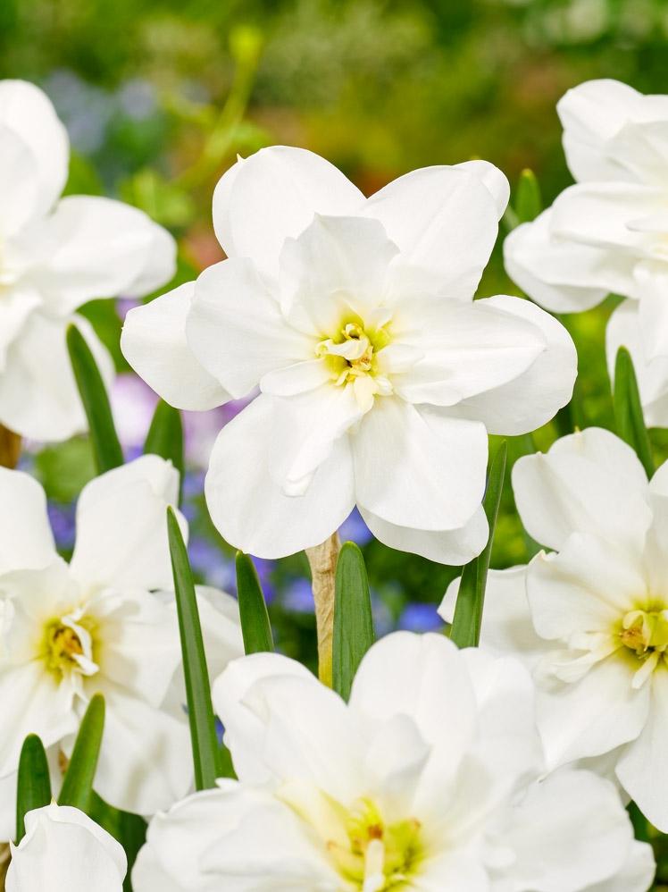 Narcissus Alba