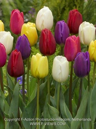 Triumph Tulipan