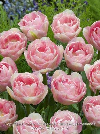 Tulipan Angelique