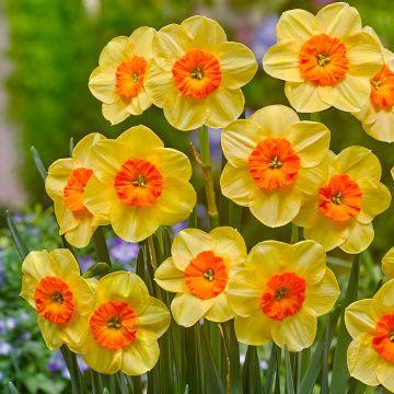 Narcissi & Daffodils