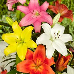 bulbos oto/ñales primaverales Lilium Oriental Josefine paquete de 2 unidades
