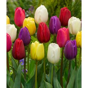 Triumph Tulipaner