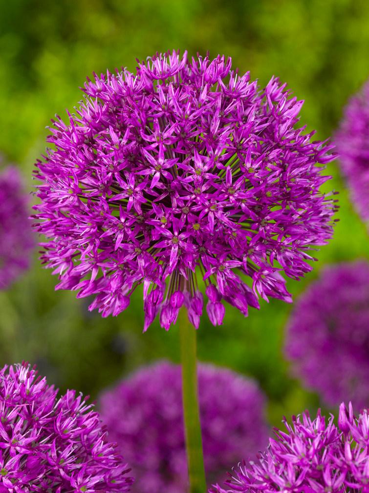 Prydløg Purple Sensation