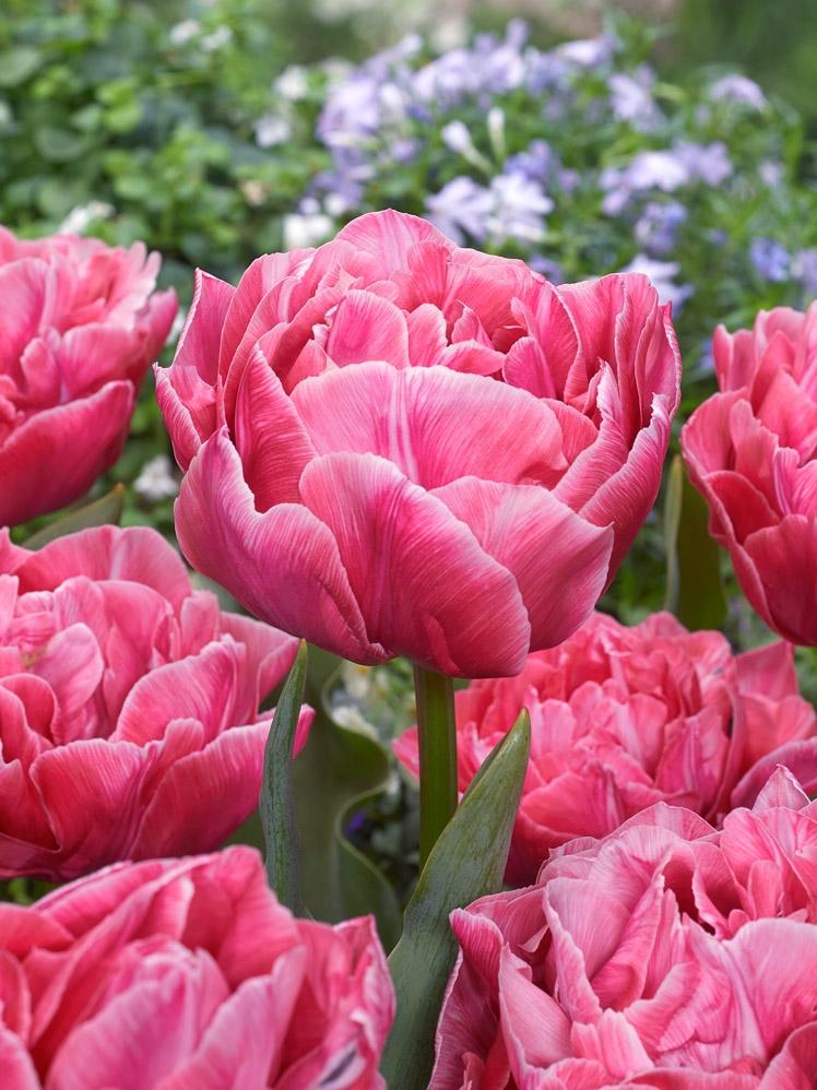 Tulipa Aveyron