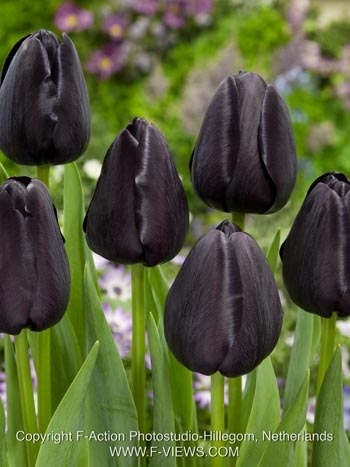 Tulipa Queen of Night
