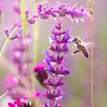 Bee friendly flowerbulbs and perennials